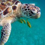 Sea turtle Curaçao